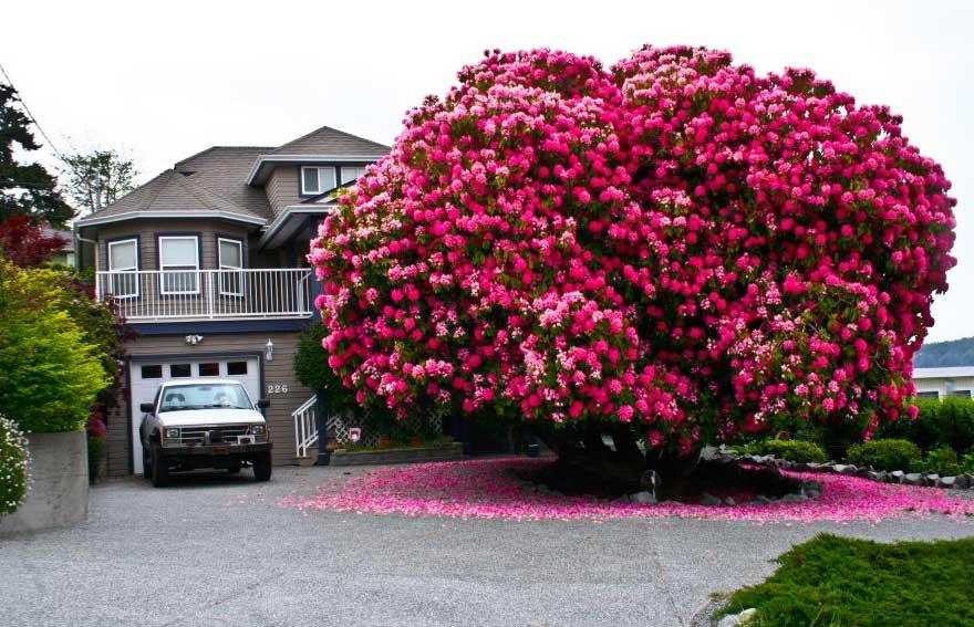 125-yasindaki-Rhododendron-agaci