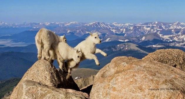 14000-feet-yukseklikte-oyun-oynayan-keci-yavrulari