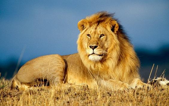 Afrika_aslan.dunyanin.en-tehlikeli-olumcul-hayvanlari