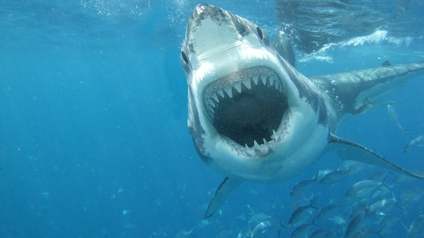Beyaz-Köpekbalığı-Resimleri-fotograf-tehlikeli-ozellikleri
