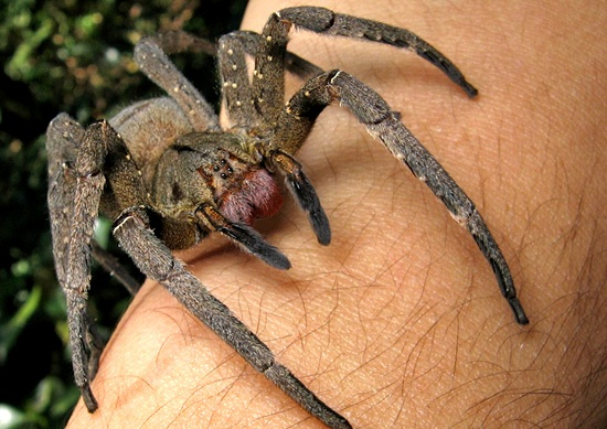 Brazilian-Wandering-Spiders-Phoneutria