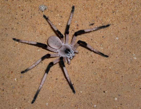Cerbalus aravaensis-dunyanin-en-buyuk-orumcekleri