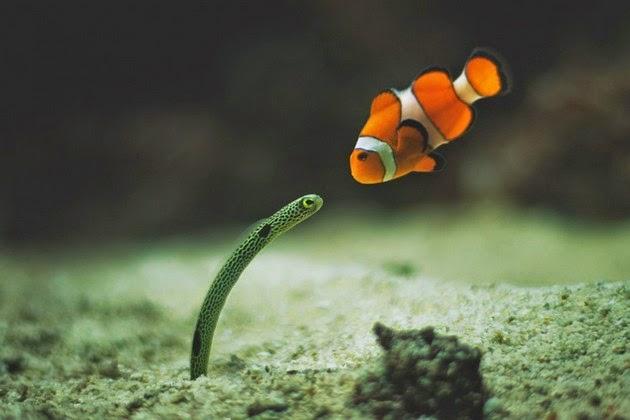 Clownfish-anemonefish-ve-eel-Anguilliformes