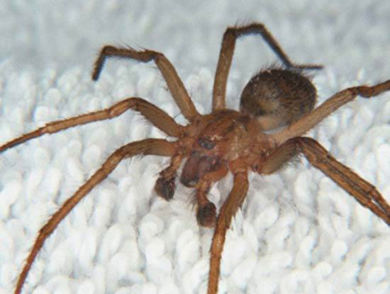 Hobo-Spider-Tegenaria-agrestis