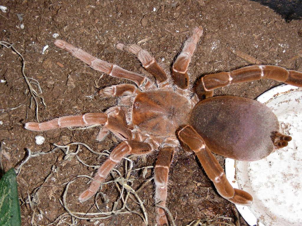 Hysterocrates-gigas-dunyanin-en-buyuk-orumcekleri
