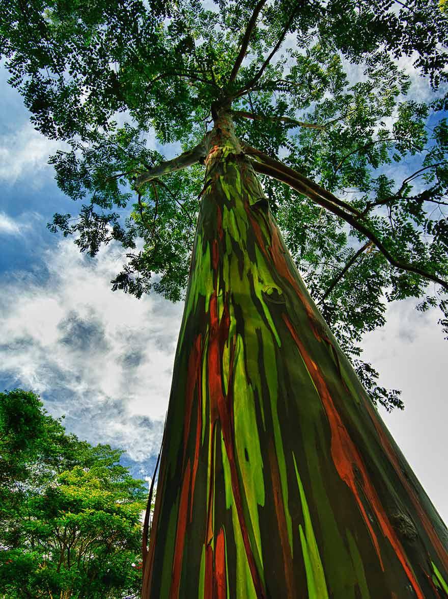 Kauai-Hawaii-gokkusagi-okaliptus-agaci-1