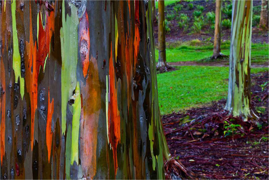 Kauai-Hawaii-gokkusagi-okaliptus-agaci-2