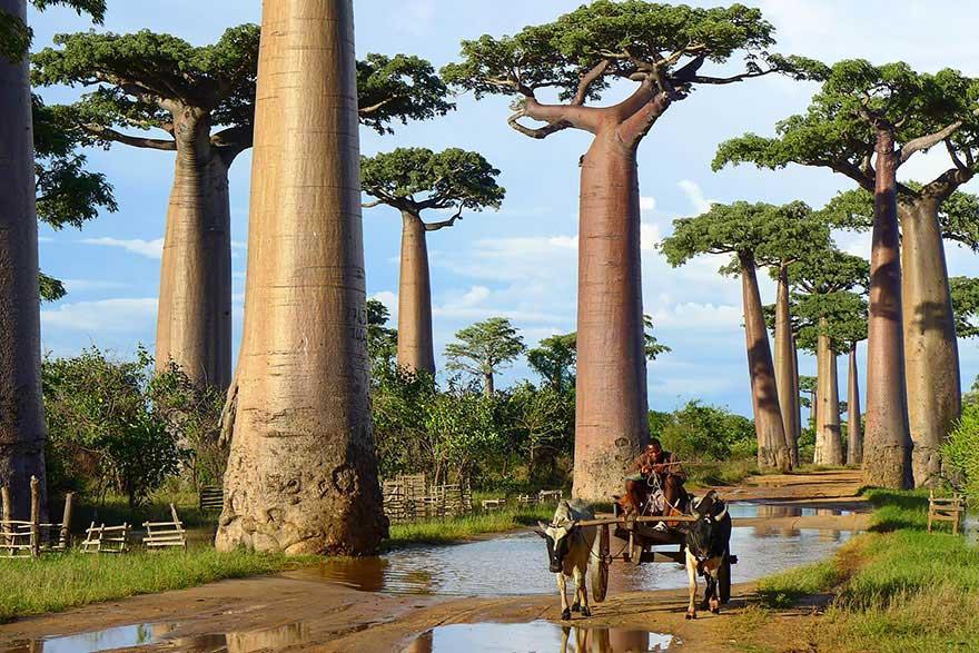 Madagaskar-Baobab-agaclari