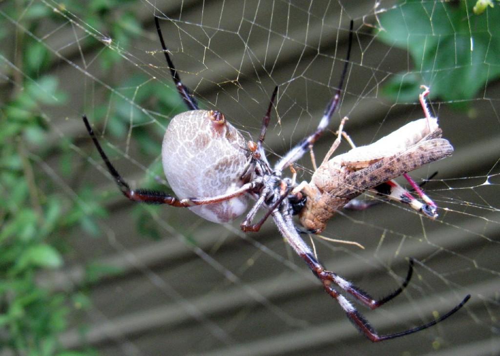 Nephila-edulis-dunyanin-en-buyuk-orumcek-turleri