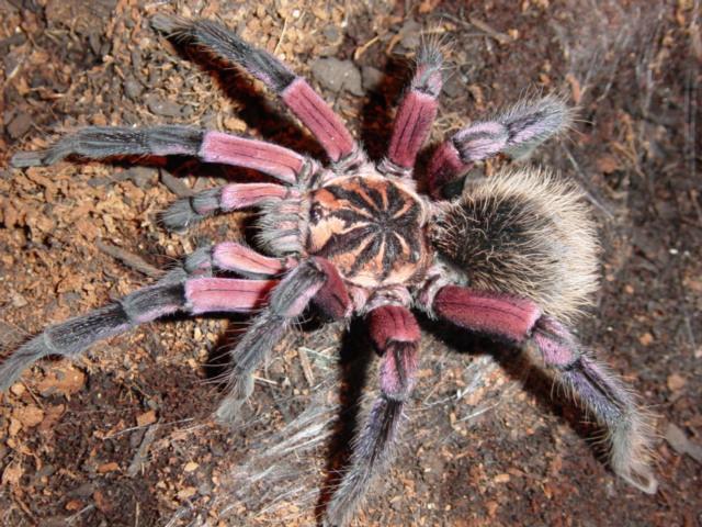 Xenesthis-Immanis-dunyanin-en-buyuk-orumcekleri