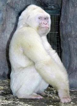 albino-goril-genetik-mutasyon