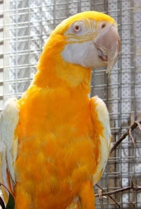 altin-renkli-papagan--genetik-mutasyon