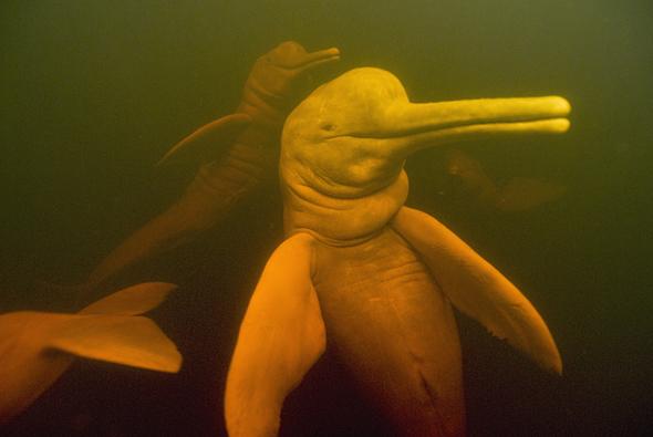 Amazon River Dolphins (Inia geoffrensis) Underwater, Rio Negro, Amazonia, Brazil