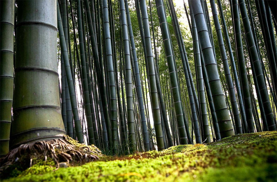 bambu-ormani