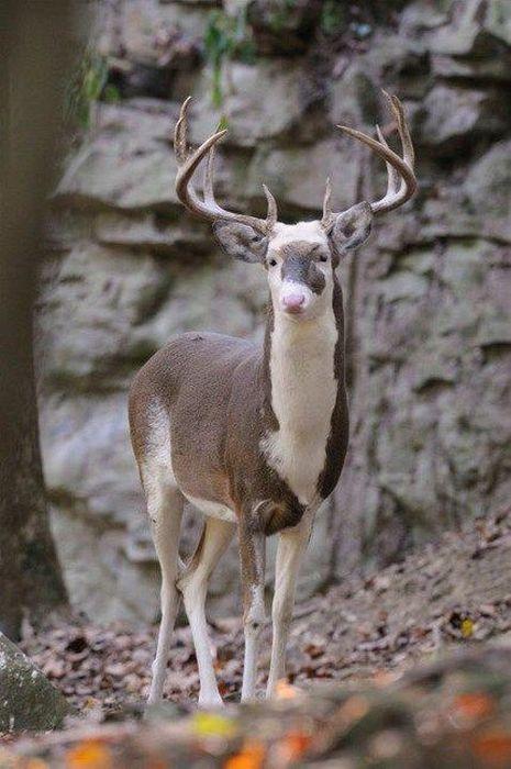 benekli-geyik-genetik-mutasyon
