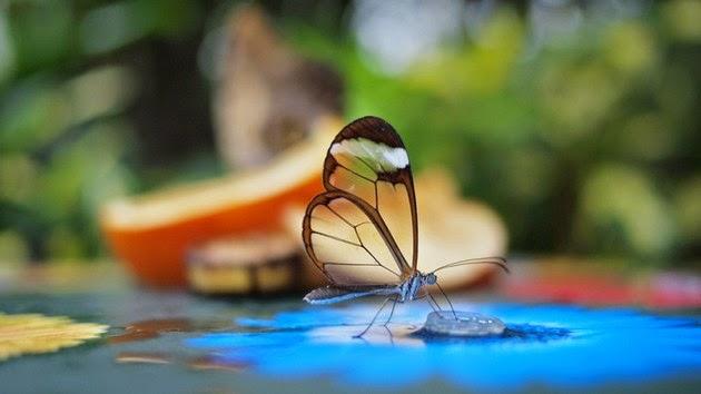 cam-kanatli-kelebek