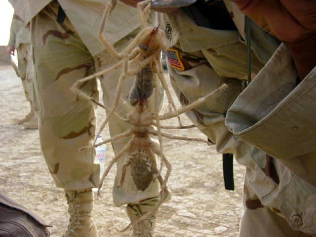 camel-spider-bog-dunyanin-en-buyuk-orumcekleri