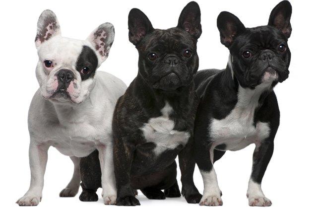 fransiz-bulldog-uretimi