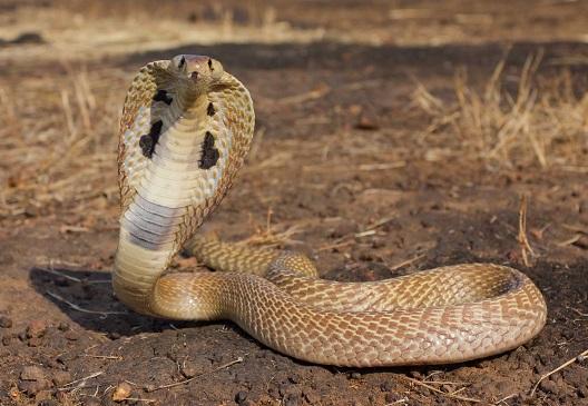 kral-kobra-yilani-resim-foto-ozellikleri