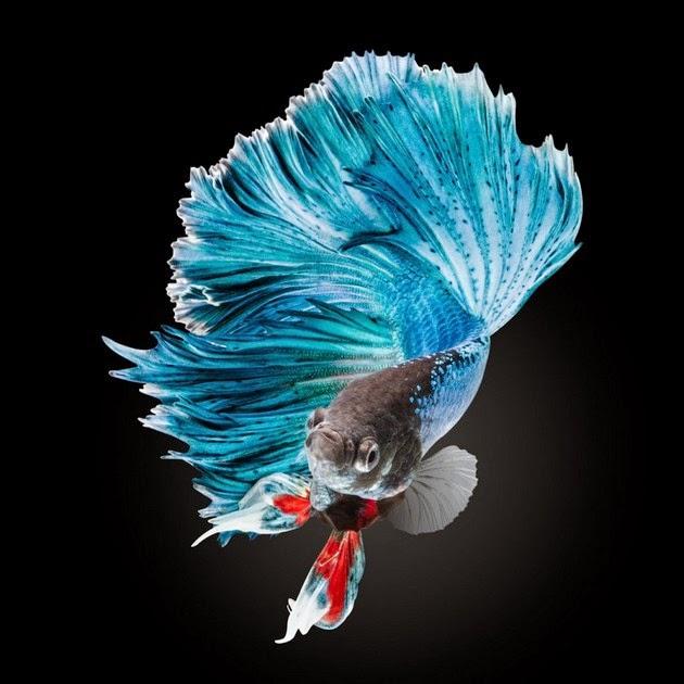mavi-beta-baligi